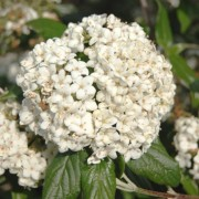 (20/02/2019) Viburnum 'Pearlific' added by Shoot)