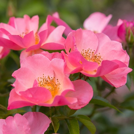 Rosa 'All the Rage'