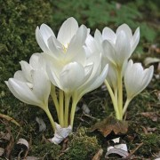 (05/03/2019) Colchicum autumnale 'Album' added by Shoot)