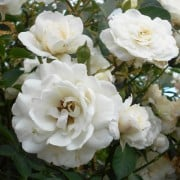 (11/03/2019) Rosa 'White New Dawn' added by Shoot)