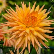 (12/03/2019) Dahlia 'Gold Crown' added by Shoot)