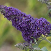 (22/03/2019) Buddleja davidii 'Southcombe Splendour' added by Shoot)