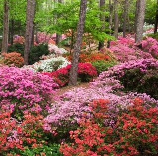 Rhododendron (any hardy, deciduous variety)