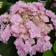 (26/03/2019) Hydrange macrophylla 'Forever' added by Shoot)