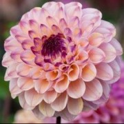 (26/03/2019) Dahlia 'Wine-eyed Jill' added by Shoot)