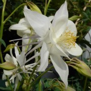 (27/03/2019) Aquilegia 'Silver Queen' added by Shoot)