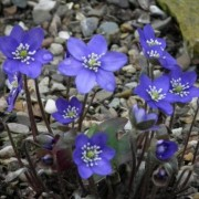 (01/04/2019) Hepatica nobilis 'Cobalt' added by Shoot)