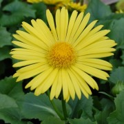 (03/04/2019) Doronicum orientale 'Leonardo Compact' added by Shoot)