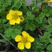 (05/04/2019) Potentilla cuneata added by Shoot)
