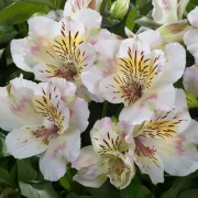 (17/04/2019) Alstroemeria 'Summertime' added by Shoot)