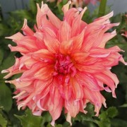 (23/04/2019) Dahlia 'Belle of Barmera' added by Shoot)