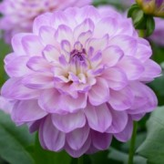 (23/04/2019) Dahlia 'Blue Wish' added by Shoot)