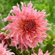(23/04/2019) Dahlia 'Penhill Watermelon' added by Shoot)