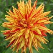 (23/04/2019) Dahlia 'Striped Vulcan' added by Shoot)