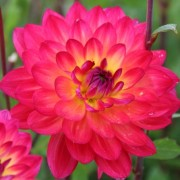 (23/04/2019) Dahlia 'Kilburn Glow' added by Shoot)