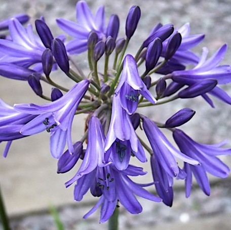 Agapanthus 'His Majesty'