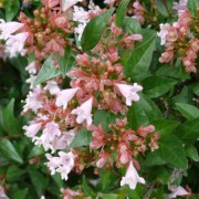 (01/05/2019) Abelia 'Raspberry Profusion' added by Shoot)