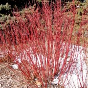(02/05/2019) Cornus sericea 'Cardinal' added by Shoot)