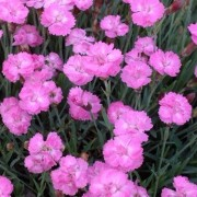 (06/05/2019) Dianthus gratianopolitanus 'Tiny Rubies' added by Shoot)