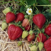 (06/05/2019) Fragaria x ananassa 'Cavendish' added by Shoot)