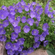 (08/05/2019) Campanula carpatica 'Perla Blue' (Perla Series) added by Shoot)