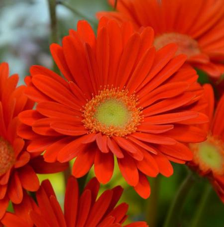 Gerbera 'Garvinea Sweet Glow' (Garvinea Sweet Series)