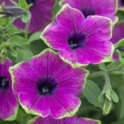 (09/05/2019) Petunia 'Designer Buzz Purple' (Designer Series) added by Shoot)