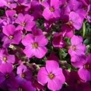 (09/05/2019) Aubrieta 'Florado Rose Red' added by Shoot)