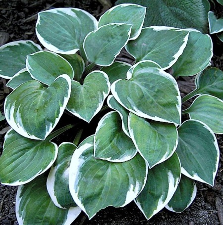 Hosta 'Country Mouse'