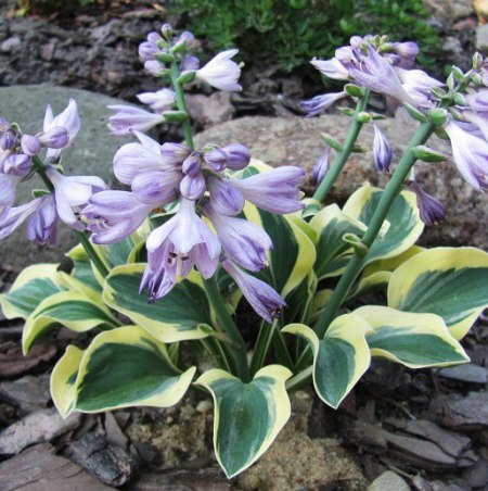 Hosta 'Lucky Mouse'