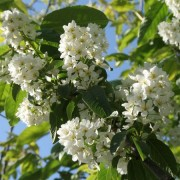 (10/05/2019) Prunus padus 'Albertii' added by Shoot)