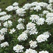 (10/05/2019) Iberis sempervirens 'Purity' added by Shoot)