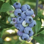 (18/05/2019) Vaccinium 'Blueray' added by Shoot)