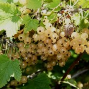 (21/05/2019) Ribes rubrum 'Primus' added by Shoot)