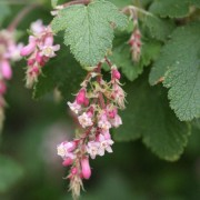 (22/05/2019) Ribes malvaceum  added by Shoot)