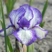 (31/05/2019) Iris 'Petite Polka' added by Shoot)
