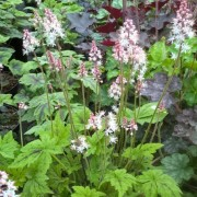 (02/06/2019) Tiarella 'Fairy's Footsteps' added by Shoot)