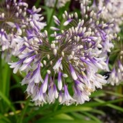 (06/06/2019) Agapanthus 'Fireworks' added by Shoot)