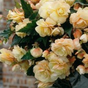 (07/06/2019) Begonia 'Champagne' added by Shoot)