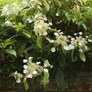 Hydrangea seemanii added by Shoot)