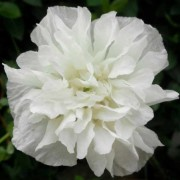 (24/06/2019) Papaver somniferum 'White Cloud' added by Shoot)