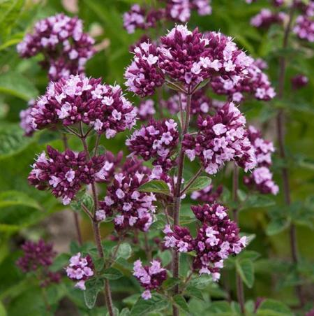 Origanum vulgare 'Gentle Breeze'