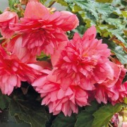(01/07/2019) Begonia 'Funky Pink' (Funky Series) added by Shoot)
