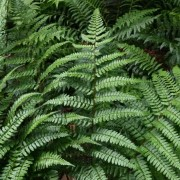 (09/07/2019) Dryopteris championii added by Shoot)