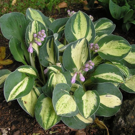 Hosta 'Snow Mouse'