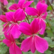 (07/08/2019) Pelargonium 'Surcouf' added by Shoot)