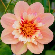 (08/08/2019) Dahlia 'Rhubarb and Custard' (Sweet Candy Series) added by Shoot)