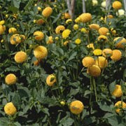 'Wandy' is a pompom-flowered, perennial dahlia with an erect habit.  Its divided foliage is dark-green.  In summer and autumn it bears pale-yellow flowers whose florets are pink tipped. Dahlia 'Wandy' added by Shoot)
