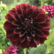 (22/08/2019) Dahlia 'Black Satin' added by Shoot)