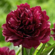 (22/08/2019) Paeonia lactiflora 'Black Beauty' added by Shoot)